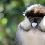 allens-swamp-monkey