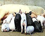 American Landrace pigs