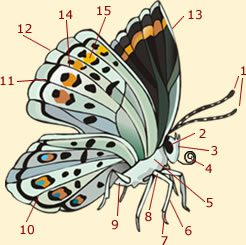 Morphology of a butterfly