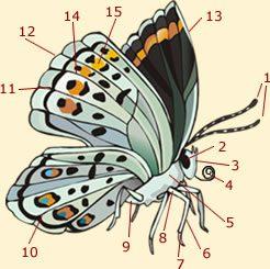 Morphology of a butterfly