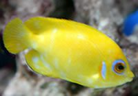 Lemonpeel Angel Fish