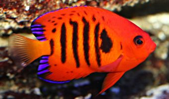 marine angelfish facts diet habitat information
