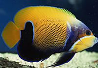 Bluegirdled Angel Fish