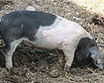 Angeln Saddleback pig