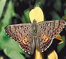 Ares Metalmark Butterfly