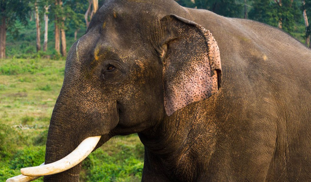 Asian Elephant - Key Facts, Information & Pictures