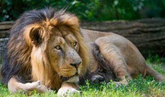 asian-lion