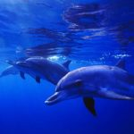 atlantic-spotted-dolphin