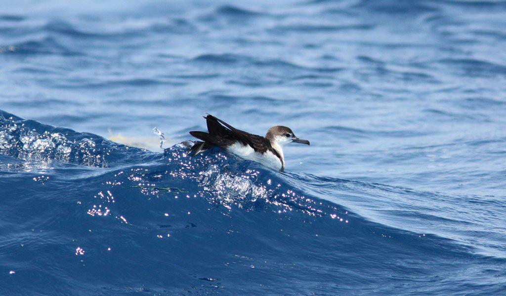 audubons-shearwater