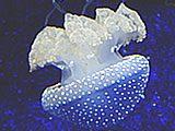 Australian Spotted Jellyfish