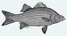 Australian Bass Fish