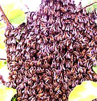 Swarming Honey Bees