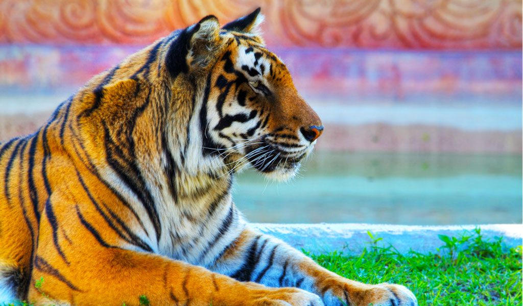 bengal tigers key facts information amp pictures