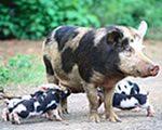 Bentheim Black Pied pig