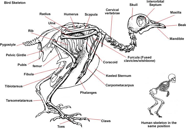Bird Skeleton | Diagram Showing Skeleton of a Bird