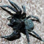 black-house-spider