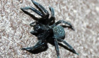 Black House Spider Facts Venom Amp Habitat Information