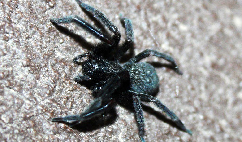 мамбы пауки черные