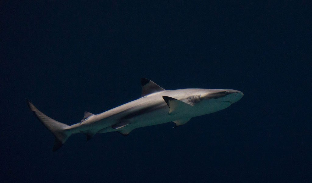 blacktip-shark
