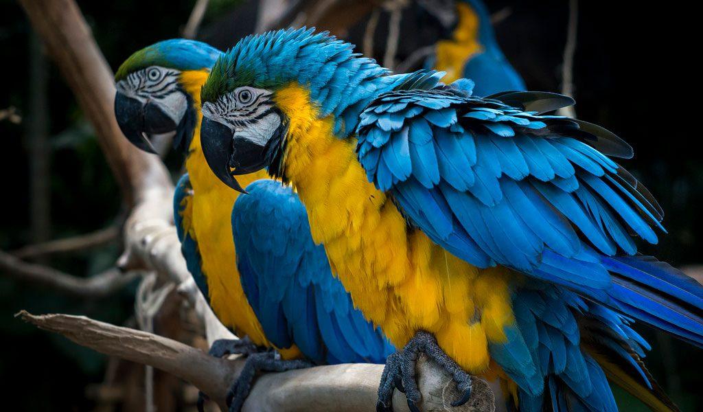 Blue & Yellow Macaw Parrott - Facts, Information & Habitat