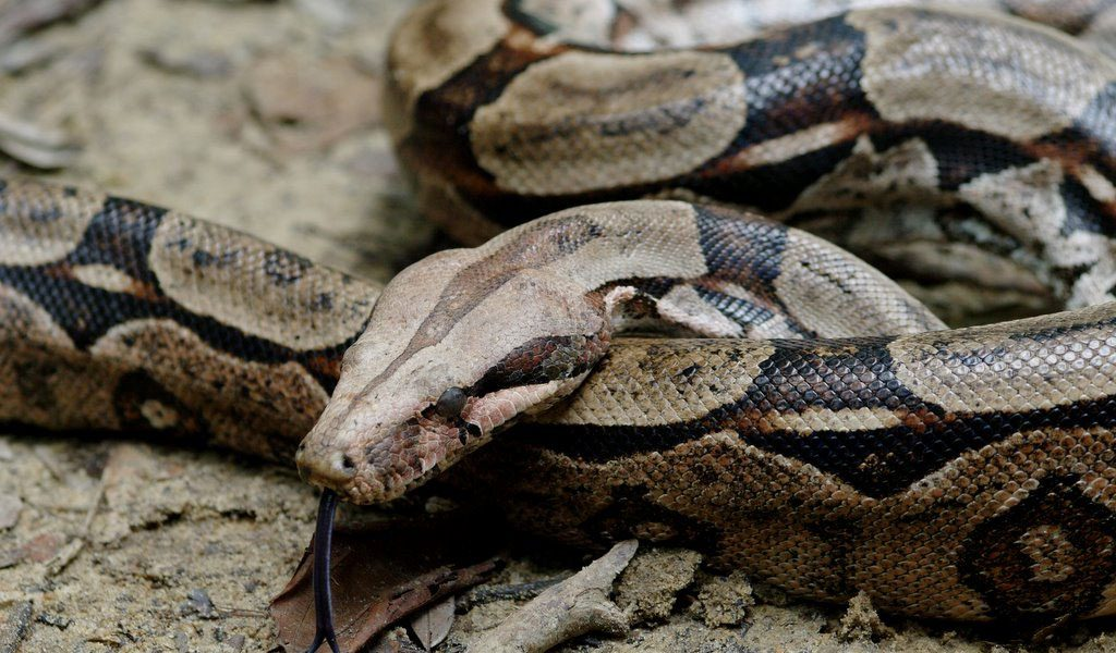Boa Constrictor Snake Facts Diet Amp Habitat Information