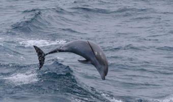 bottlenosed-dolphin