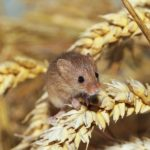 british-harvest-mouse