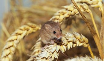 Mice Facts Information Habitat Pictures