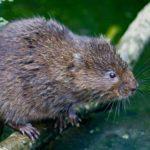 british-water-vole