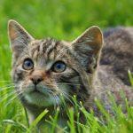 british-wild-cat