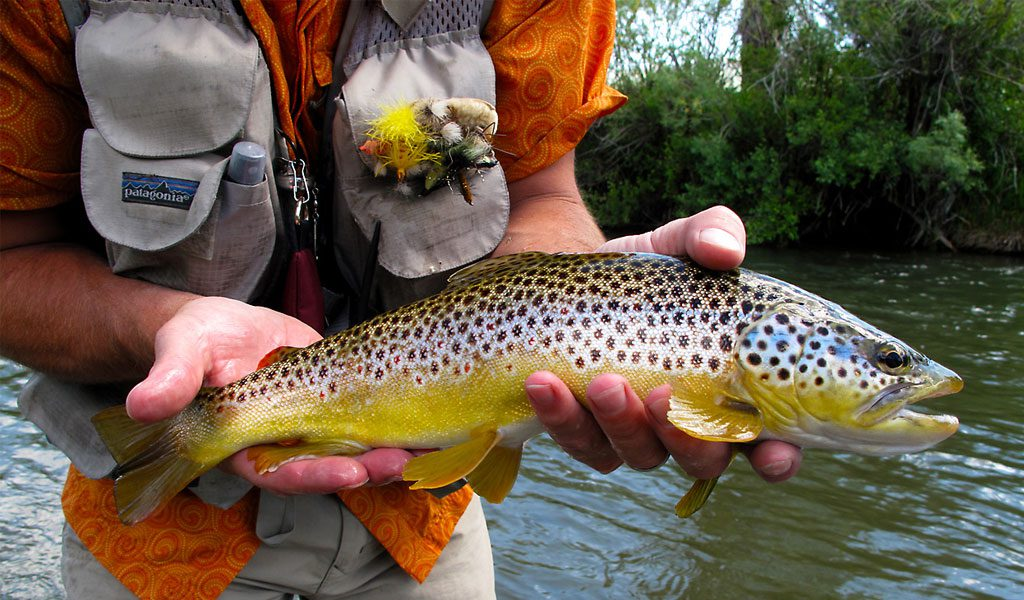 Brown Trout Fish - Facts, Information & Pictures
