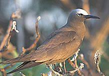 Brown Noddy Tern