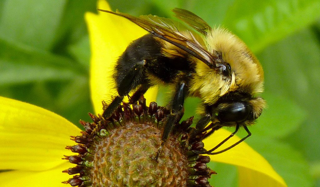 Black Bumble Bee >> Bumble Bees Facts Information Pictures
