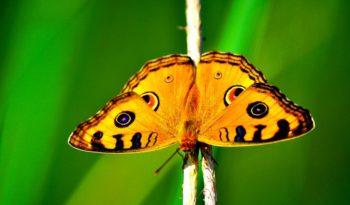Morpho Butterfly - Key Facts, Information & Habitat