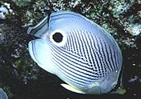 Foureye Butterfly Fish