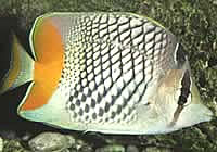 Yellow tail butterfly fish
