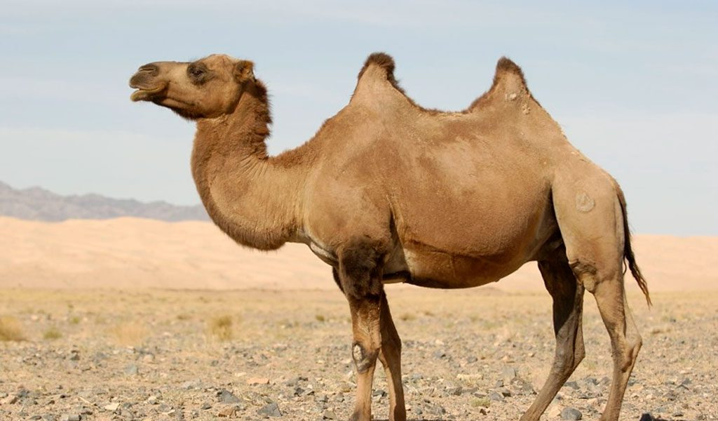 a description of the camel and its importance in desert areas The camel is important to the people of the desert due to the following reasons: 1 people in the deserts travel on camel 2 it provides milk to them 3 its hair is used to make clothes 4 its .