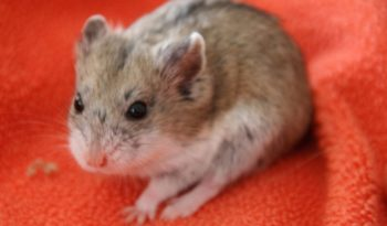 Golden/Syrian Hamster - Facts, Information & Pictures