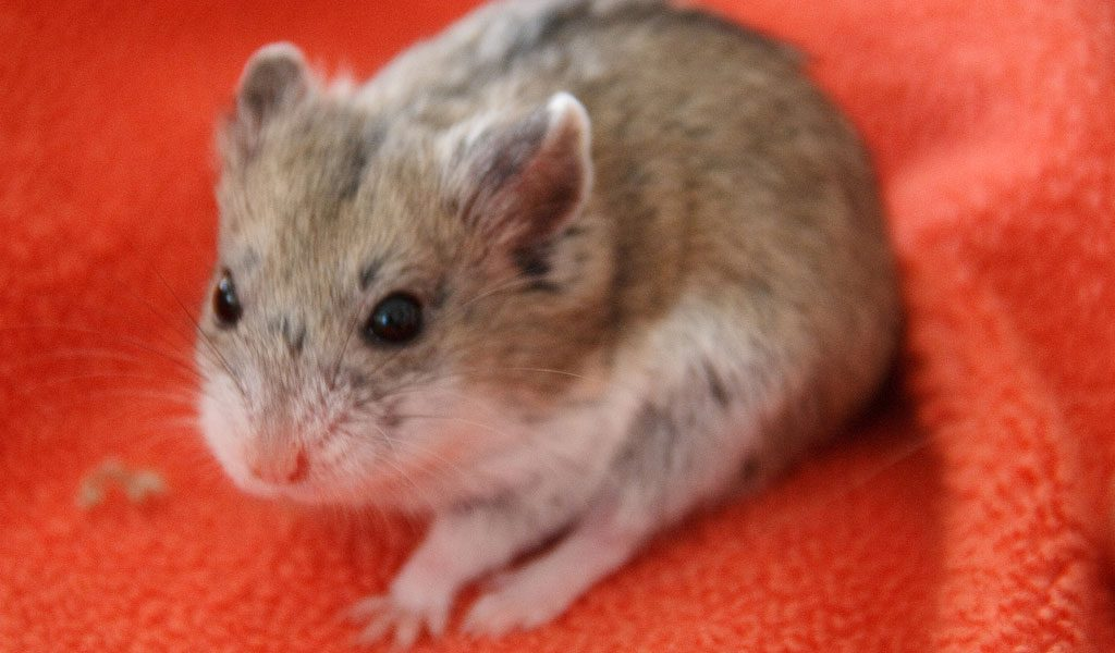 Campbell's dwarf hamster