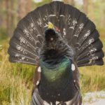 capercaillie
