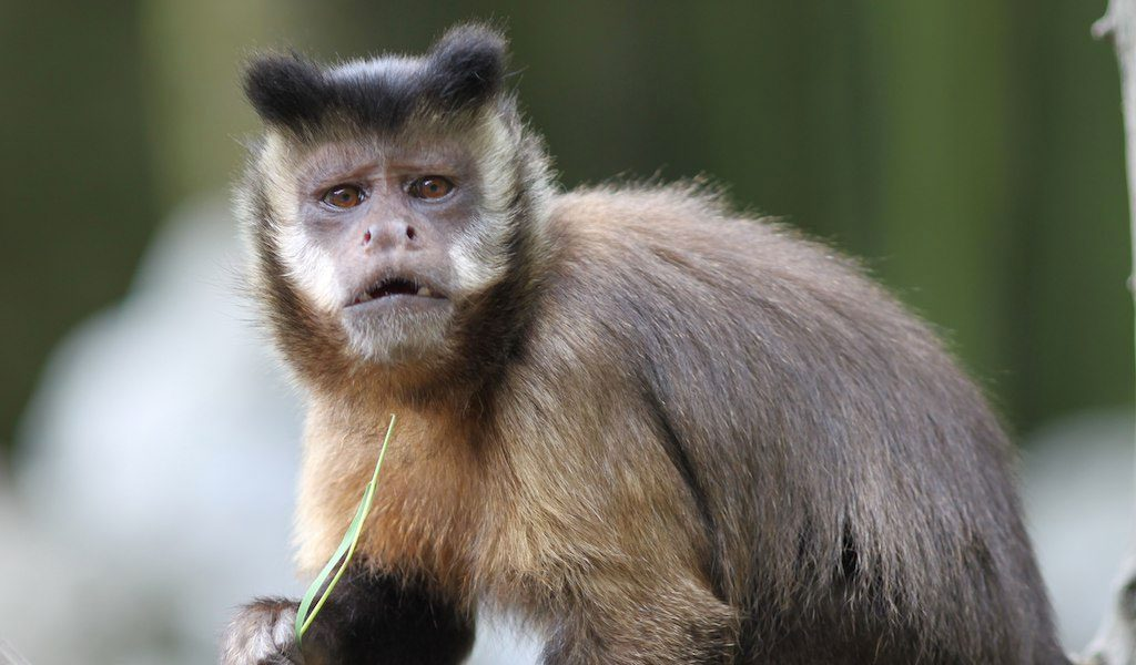 Capuchin Monkeys - Gold- Bellied Monkey Facts & Information