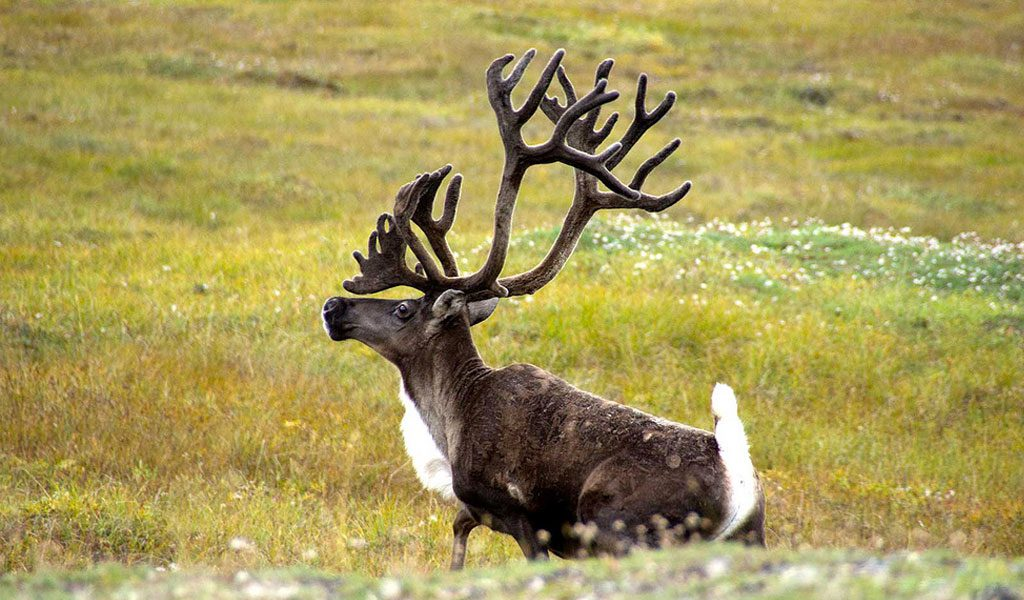 Image Gallery Male Caribou