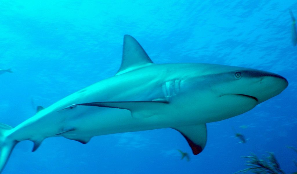 Caribbean Reef Shark - Facts, Information & Pictures