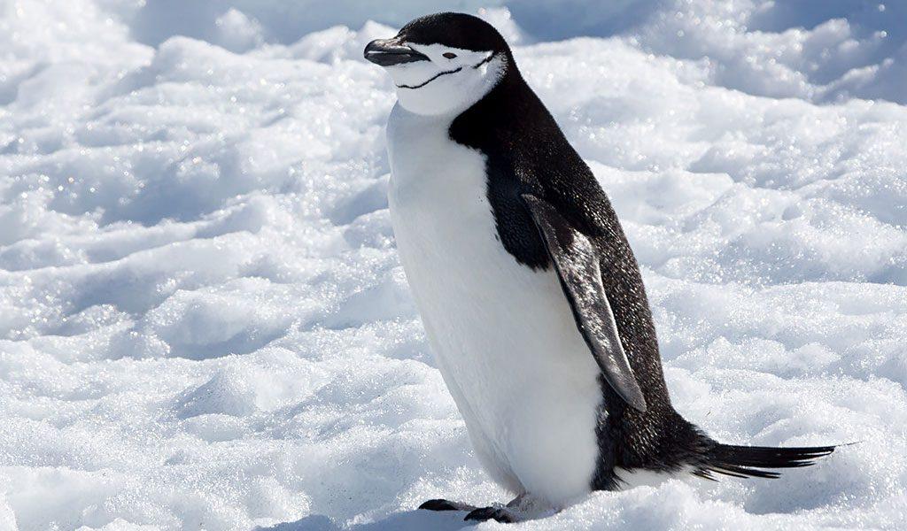 Chinstrap Penguin - Facts, Diet & Habitat Information
