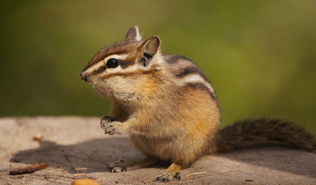 chipmunk   key facts species amp information