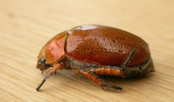 christmas beetle facts information pictures