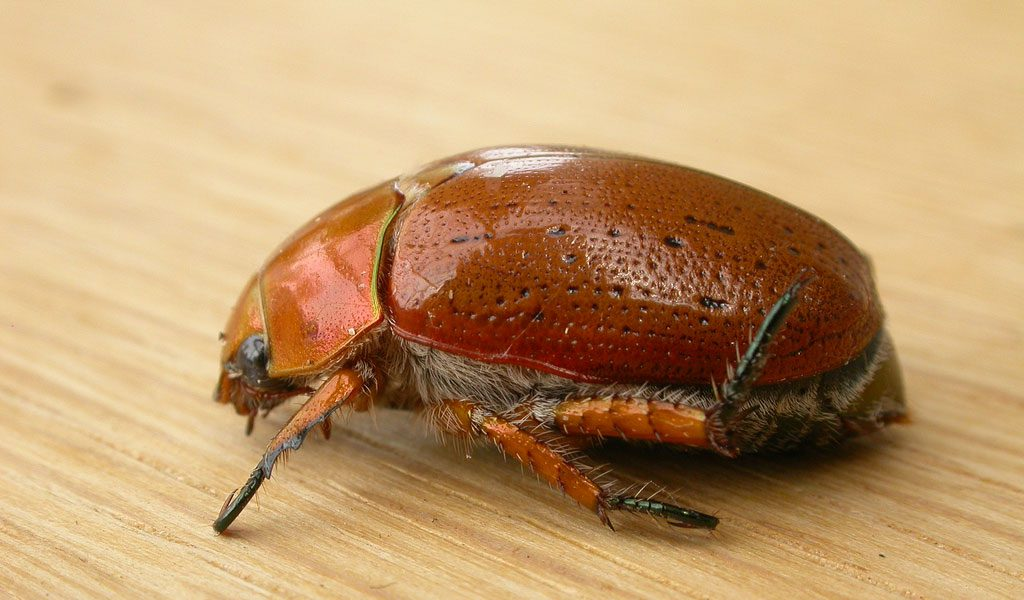 Christmas Beetle - Facts, Information & Pictures