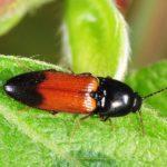 click-beetle