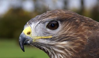 common buzzard bird of prey facts information pictures