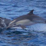 common-dolphin